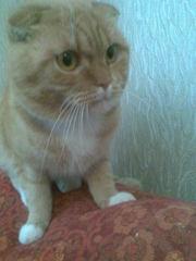 вязка , кот  шотландский вислоухий