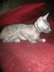 Донской сфинкс,  (1 700.00 грн.) Полтава - Кошки и котята