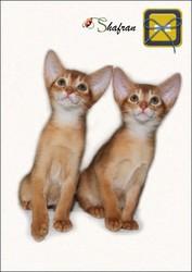 Абиссинские котята Shafran