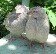 Инкубационные яйца перепелов пород по 1грн.
