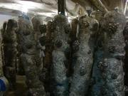 мицелий вешенка выращивание грибы  Сумы
