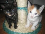 будь знаком 2 красивеньких котёнка ,  голубыми глазками  блестят!
