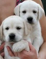 Продаются щенки лабрадор